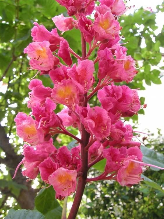 Bild: Red Chestnut Rote Kastanie - aus der Kategorie Bachblüten Bilder