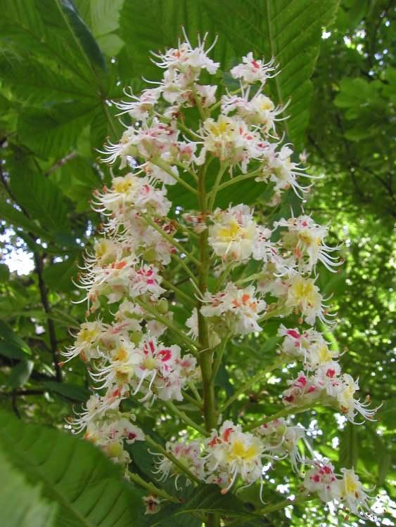 Bild: White Chestnut Weise Kastanie - aus der Kategorie Bachblüten ...